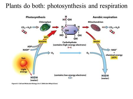 Plants do both: photosynthesis and respiration. The Photosynthetic Reaction.