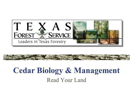 Cedar Biology & Management Read Your Land. Cedar is Native There are 7 species of Juniper native to Texas, but only 3 native to the Texas woodlands. Commonly.