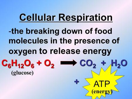 Cellular Respiration -the breaking down of food molecules in the presence of oxygen to release energy C 6 H 12 O 6 + O 2 CO 2 + H 2 O ATP + (glucose)