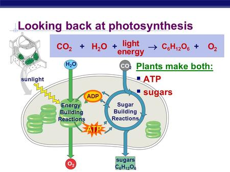 Looking back at photosynthesis sugars C 6 H 12 O 6 CO 2 ATP ADP H2OH2O O2O2 sunlight CO 2 H2OH2O C 6 H 12 O 6 O2O2 light energy  +++ Sugar Building Reactions.
