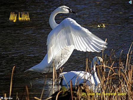 My Life! By Louis the Trumpeter Swan That's my Mom and Dad when they fall in love.
