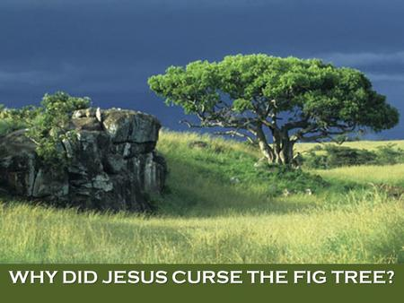 WHY DID JESUS CURSE THE FIG TREE?. Mark 11:12-26(KJV) 12 And on the morrow, when they were come from Bethany, he was hungry: 13 And seeing a fig tree.