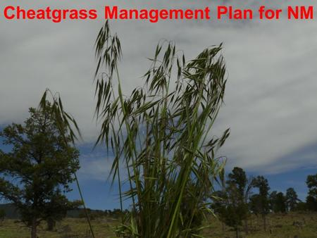 Cheatgrass Management Plan for NM. MANAGEMENT PLAN OUTLINE INTRODUCTION MISSION STATEMENT – GOAL SCOPE OF THE CHEATGRASS PROBLEM POLICY AND DIRECTION.