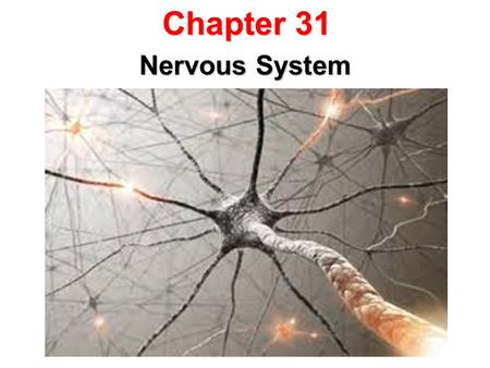 Chapter 31 Nervous System. 31.1 The Neuron Functions of the Nervous System The nervous system collects information about the body's internal and external.
