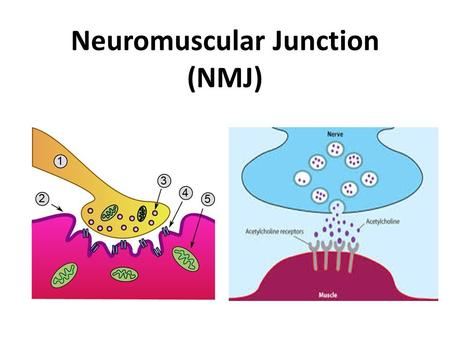 Neuromuscular Junction (NMJ). Neuromuscular junction Neuromuscular junction : the synapse between motor neuron and muscle fibre Motor neurons : are the.