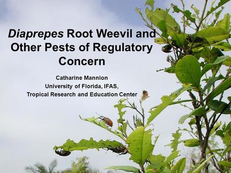 Diaprepes Root Weevil and Other Pests of Regulatory Concern Catharine Mannion University of Florida, IFAS, Tropical Research and Education Center.