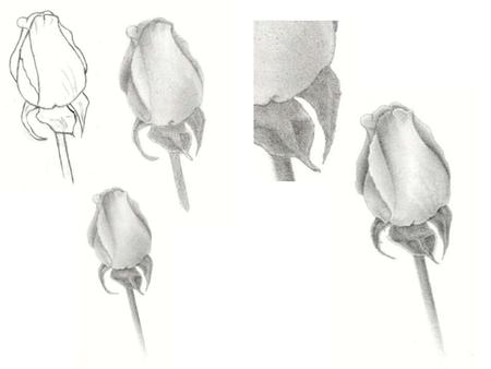 Line Drawing 1. The first step in creating a realistic rose pencil drawing is to make an accurate line drawing. Make a quick sketch and then correct that.