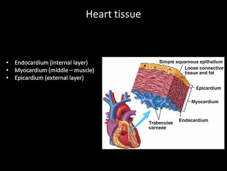 Heart tissue Endocardium (internal layer) Myocardium (middle – muscle)