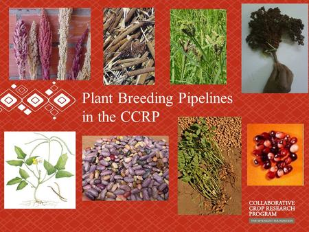 Plant Breeding Pipelines in the CCRP. Crucifers: Broccoli Brussels sprouts Cabbage Cauliflower Chinese cabbage Collards Kale Mustard Radish Rutabaga Turnip.
