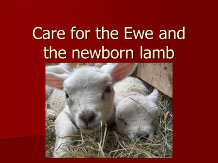 Care for the Ewe and the newborn lamb