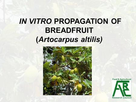 IN VITRO PROPAGATION OF BREADFRUIT (Artocarpus altilis)