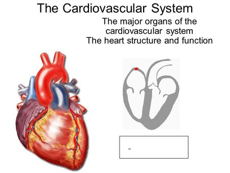 The Cardiovascular System The major organs of the cardiovascular system The heart structure and function.