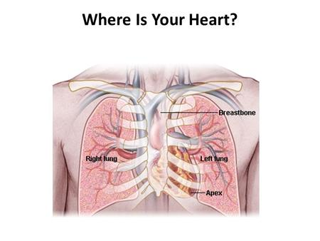 Where Is Your Heart?. Circulation of blood Pulmonary circulation - Blood from heart to lungs and back again Systemic circulation – blood from heart to.