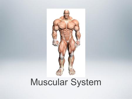 Muscular System. Muscle tissue has one essential function -- Contraction As a result, muscles are responsible for nearly all of the body's movement and.