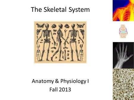 The Skeletal System Anatomy & Physiology I Fall 2013.