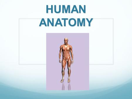 HUMAN ANATOMY. Muscles Muscles pull on the joints, allowing us to move in many different ways. They also help the body perform other functions so we can.