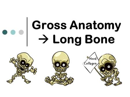 Gross Anatomy  Long Bone. Basic Structure Superior view  Transverse section, diaphysis of an immature long bone.