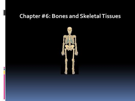 Chapter #6: Bones and Skeletal Tissues. Skeletal Cartilages  Found in adults where flexible skeletal tissue is needed  Contains no blood vessels or.