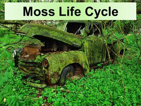 Moss Life Cycle Alternation of generations Zygote created from egg & sperm.
