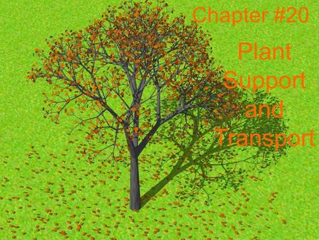 Chapter #20 Plant Support and Transport. Chapter 20.1 2 stem types 1.Woody- a non green stem grows thick and hard bark. (Trees) 2.Herbaceous- are soft,