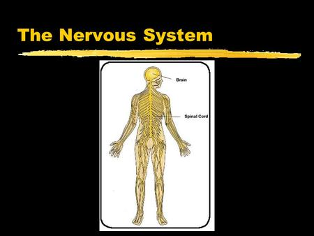 The Nervous System.  ussystem/