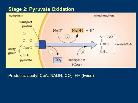 Stage 2: Pyruvate Oxidation Products: acetyl-CoA, NADH, CO 2, H+ (twice) mnm.
