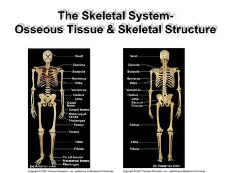 The Skeletal System- Osseous Tissue & Skeletal Structure.