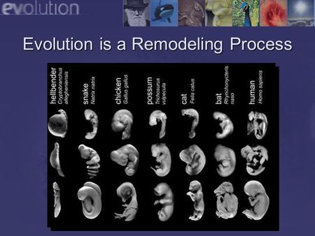 Evolution is a Remodeling Process. Refinement of Existing Adaptations Complex structures often evolve from simpler structures. Structures do not have.