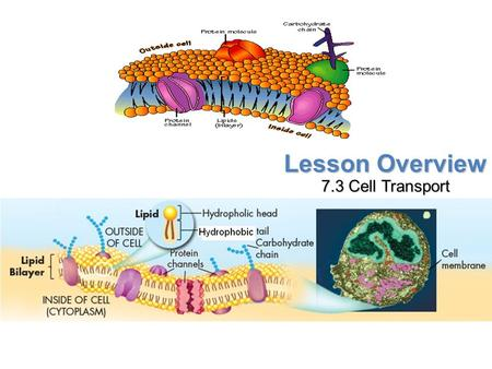 Lesson Overview 7.3 Cell Transport. Lesson Overview Lesson Overview Cell Transport THINK ABOUT IT When thinking about how cells move materials in and.