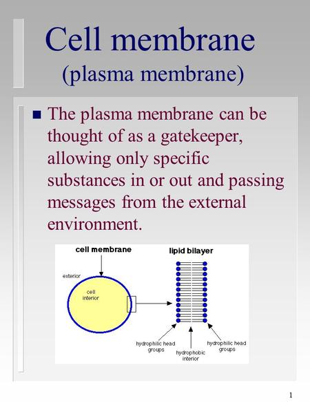 1 Cell membrane (plasma membrane) n The plasma membrane can be thought of as a gatekeeper, allowing only specific substances in or out and passing messages.