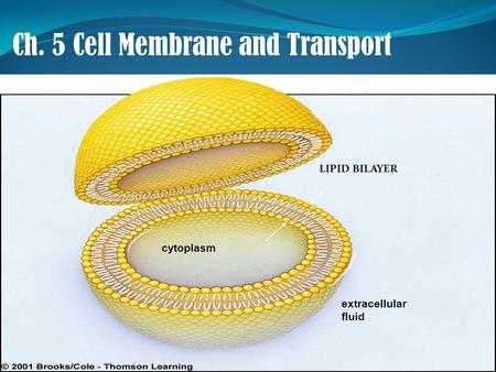 Ch. 5 Cell Membrane and Transport LIPID BILAYER cytoplasm extracellular fluid.