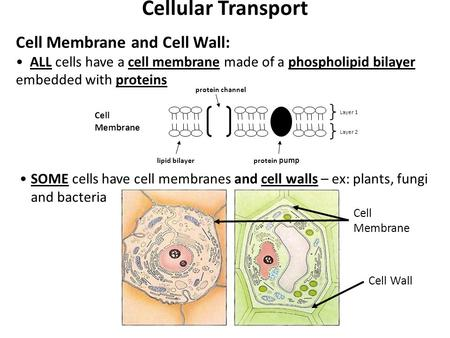 Cellular Transport Cell Membrane and Cell Wall: ALL cells have a cell membrane made of a phospholipid bilayer embedded with proteins Cell Membrane lipid.