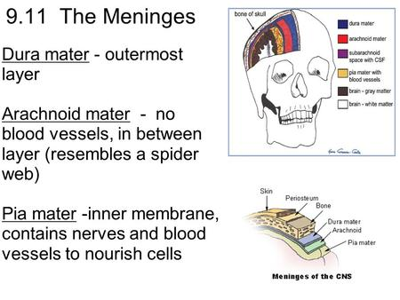 9.11 The Meninges Dura mater - outermost layer Arachnoid mater - no blood vessels, in between layer (resembles a spider web) Pia mater -inner membrane,