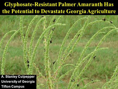 Glyphosate-Resistant Palmer Amaranth Has the Potential to Devastate Georgia Agriculture A. Stanley Culpepper University of Georgia Tifton Campus.