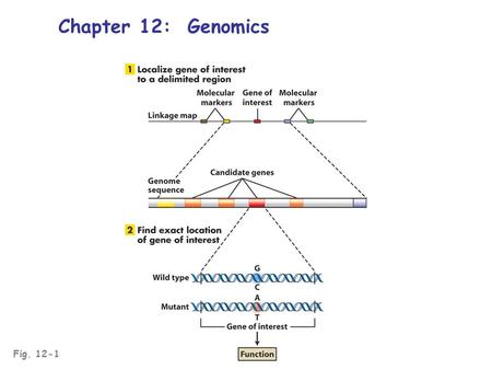 Fig. 12-1 Chapter 12: Genomics. Genomics: the study of whole-genome structure, organization, and function Structural genomics: the physical genome; whole.