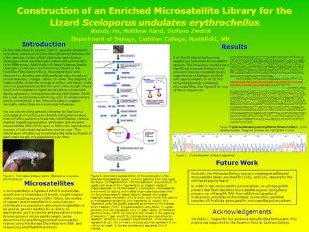 Construction of an Enriched Microsatellite Library for the Lizard Sceloporus undulates erythrocheilus Wendy Jin, Matthew Rand, Stefano Zweifel Department.