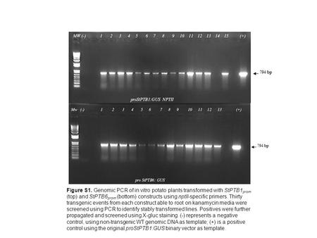 Figure S1. Genomic PCR of in vitro potato plants transformed with StPTB1 prom (top) and StPTB6 prom (bottom) constructs using nptII-specific primers. Thirty.