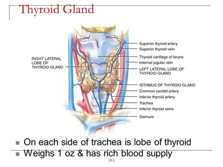18-1 Thyroid Gland On each side of trachea is lobe of thyroid Weighs 1 oz & has rich blood supply.