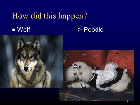 1 How did this happen? Wolf ----------------------> Poodle.