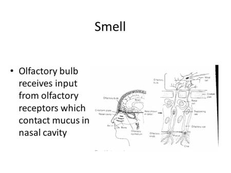 Olfactory bulb receives input from olfactory receptors which contact mucus in nasal cavity Smell.