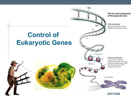 Genetics 2007-2008 Control of Eukaryotic Genes Genetics The BIG Questions… How are genes turned on & off in eukaryotes? How do cells with the same genes.
