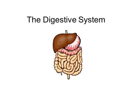 The Digestive System. Functions Ingestion (eating) Grinding Digestion Absorption of nutrients Elimination of solid wastes.
