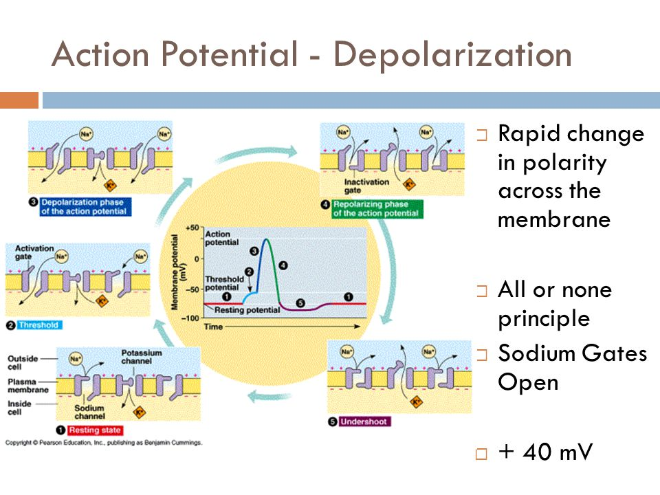 Action Potential – Repolarization  Potassium gates open and potassium flows down the concentration gradient  -70mV