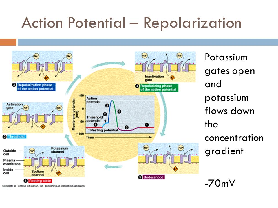 Refractory Period  After the depolarization period, the axon undergoes a limbo period, where the Sodium gates cannot open  This ensures the AP can only move towards the axon terminal  -65 mV