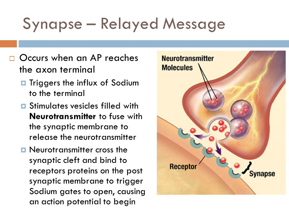 Reuptake  Neurotransmitter is either reabsorbed by the presynaptic neuron OR  Broken down by specific enzymes  Acetylcholine > acetylcholinerase