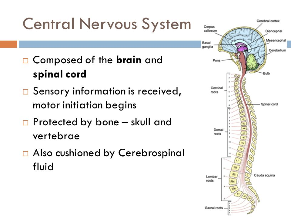 Central Nervous System  Brain contains interconnecting cavities called ventricles, which connect to the central canal of the spinal cord.