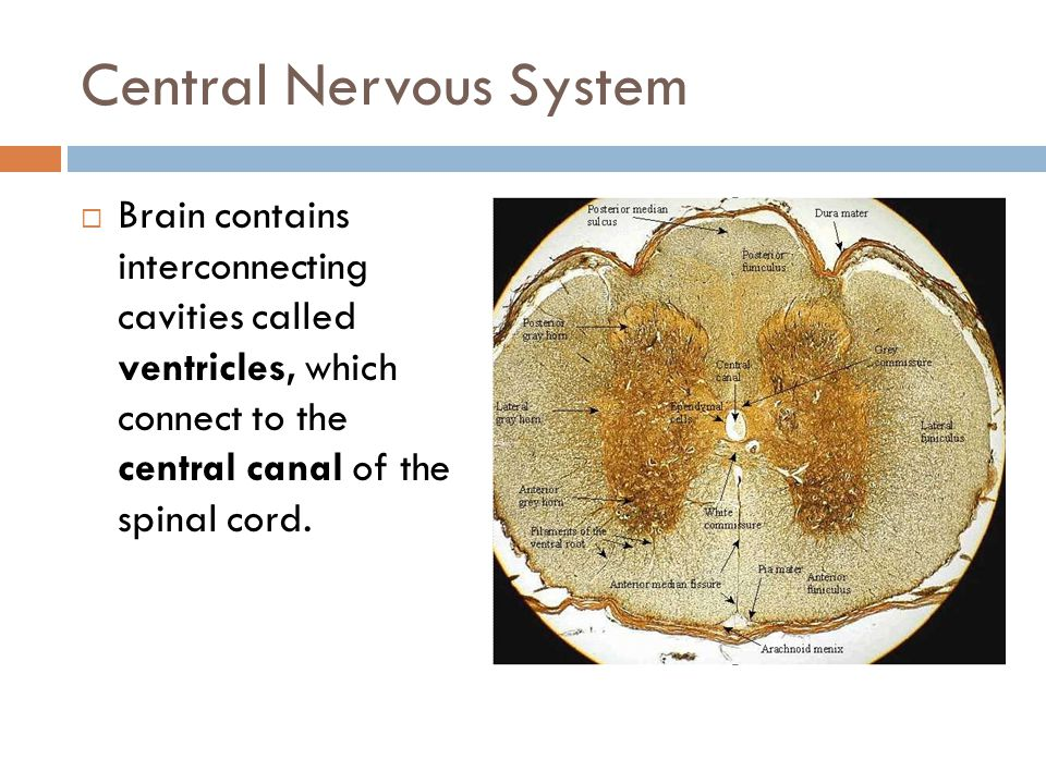 Spinal Cord  Spinal cord is protected by individual vertebrae  Vertebrae are separated by intervertebral discs