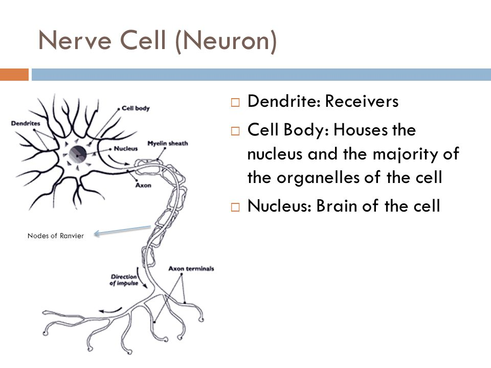 Nerve Cell (Neuron)  Axon: Conducts the nerve impulse along the cell  Myelin Sheath: Some neurons are covered in a fatty myelin sheath  Axon Terminals: relay messages to other neurons  Nodes of Ranvier: Gaps where there is no myelin covering