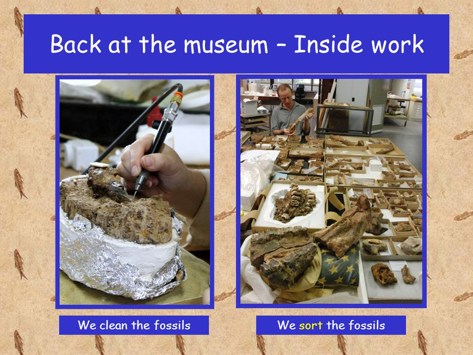 Back at the museum – Inside work We can learn a lot from fossils, such as: how big the animal was.