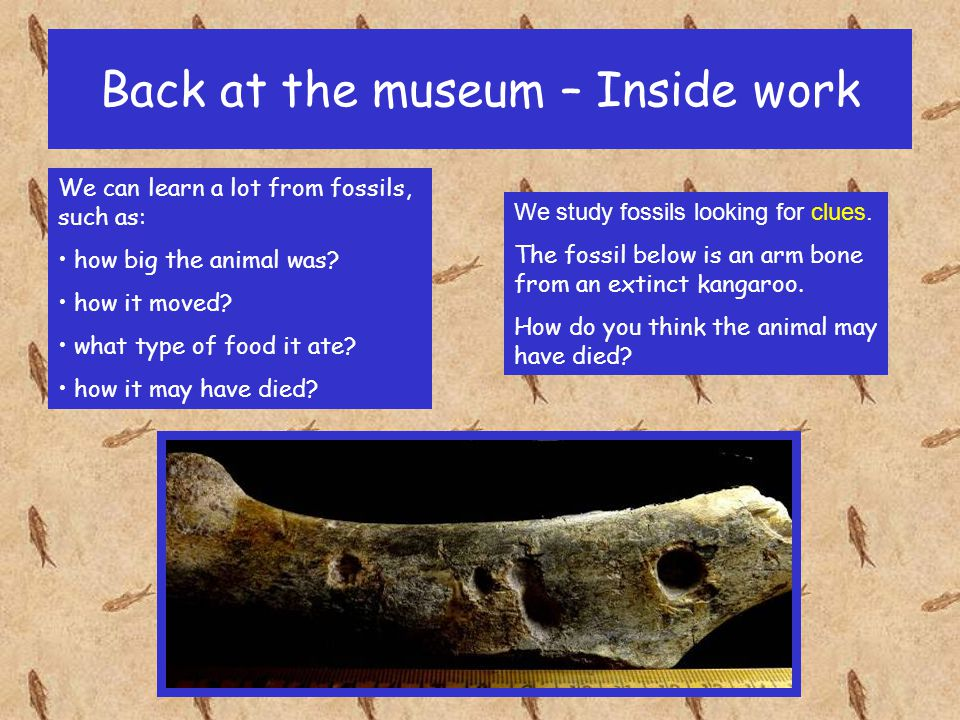 Back at the museum – Inside work Then we try to identify the fossils.